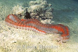 conspicuous sea cucumber opheodesoma spectabilis
