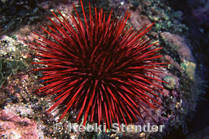 Black And Red >> Red Urchin, Strongylocentrotus franciscanus
