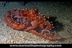 Ornate Night Octopus Callistoctopus Ornatus