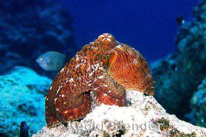 Day Octopus, Octopus cyanea