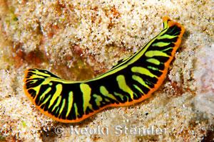 Tiger Flatworm Pseudobiceros Cf Dimidiatus